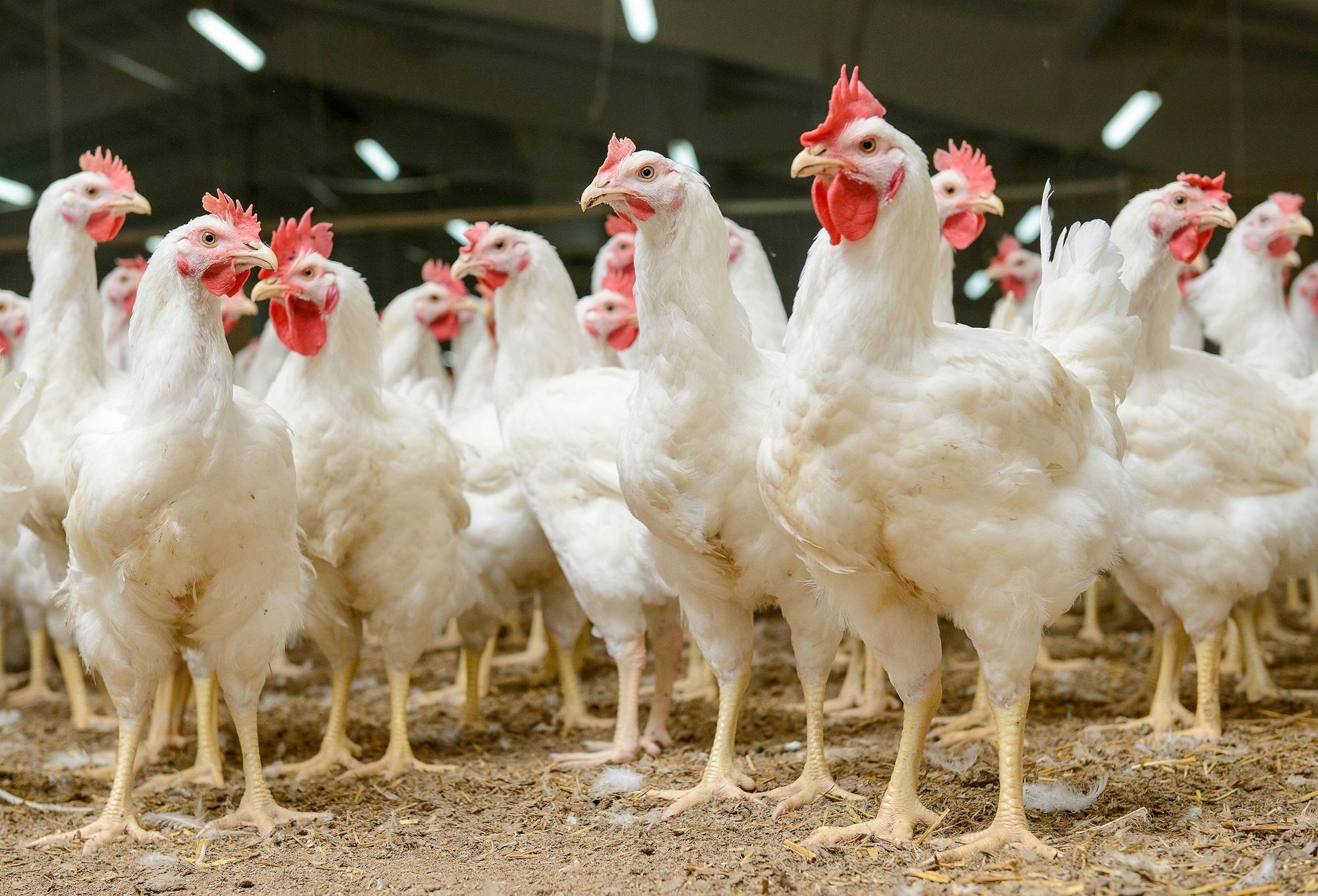 Granja de pollos blancos