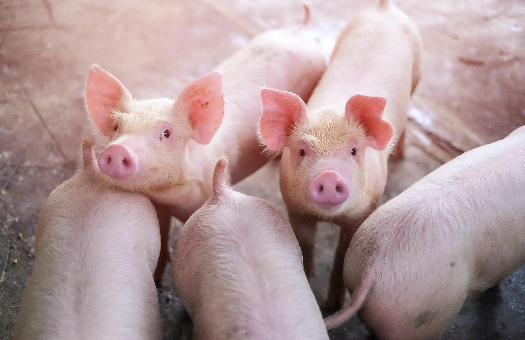 Cerdos - Cerdo Crecimiento AR Small